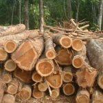 Kayu dari Pohon Jati