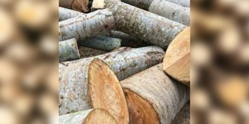 kayu albasia