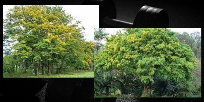 Wujud dan Karakteristik Pohon Sonokembang