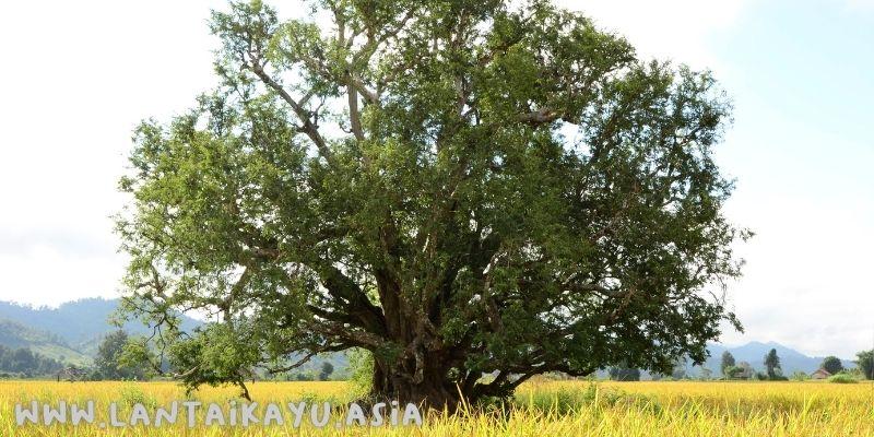 Wujud Pohon Trembesi