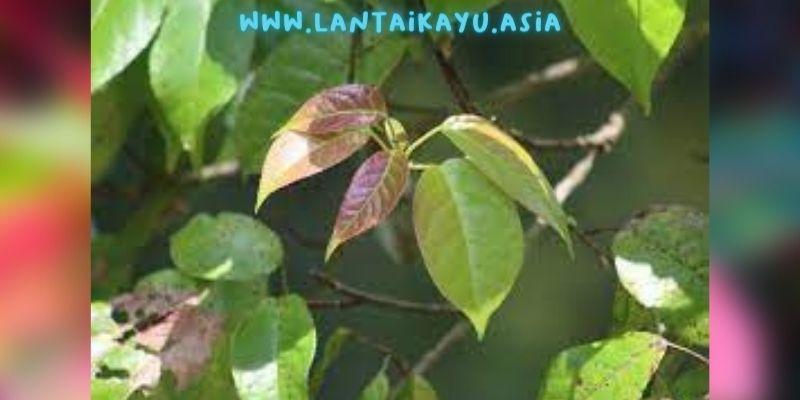 manfaat daun rasamala