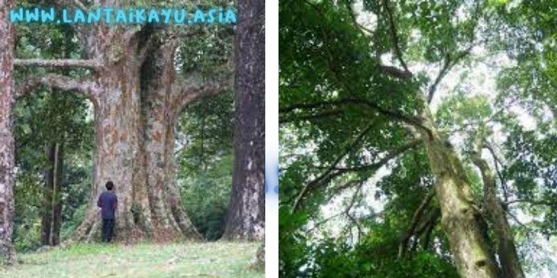 pohon rasamala