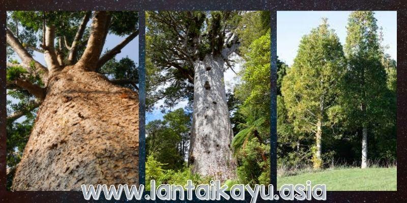 fisik pohon agathis