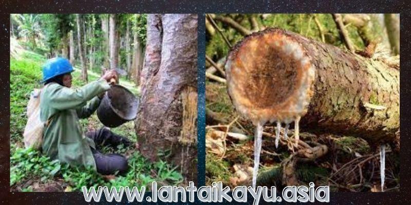 Pemanfaatan Getah Pohon Agathis