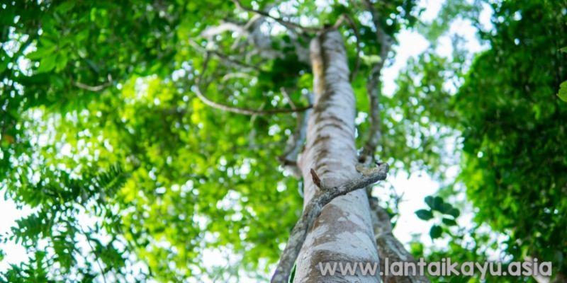 pohon kayu gaharu