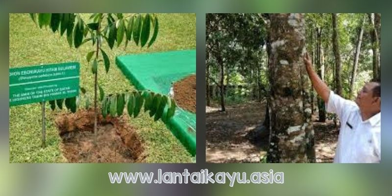 Budidaya Pohon Ebony