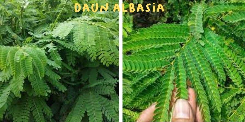 daun albasia