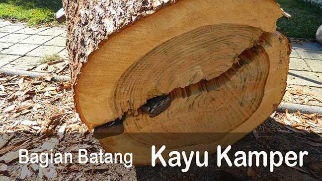 kayu kamper dan bagian pohon batang