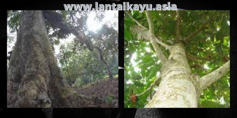 Karakteristik Pohon Kenari